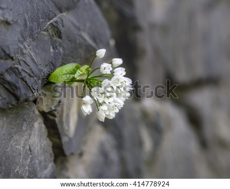 white flower and stone wall - stock photo