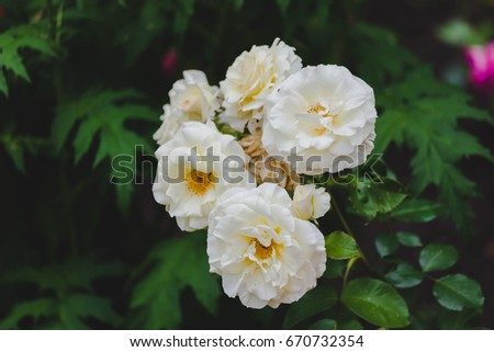 White Flower blossom with green leaves in the garden