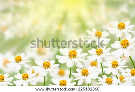 White flower field with sunlight - stock photo