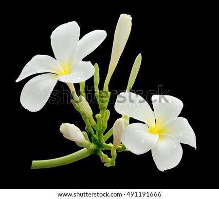 White flower frangipani plumeria flower hawaii stock photo royalty white flower frangipani plumeria flower hawaii bali shri lanka tropical mightylinksfo Image collections