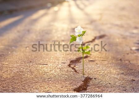 white flower growing on crack street at sunset background, warm color tone and soft focus - stock photo