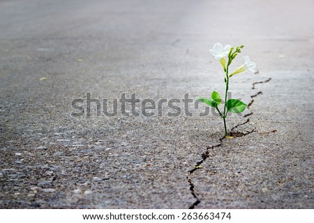 white flower growing on crack street, soft focus, blank text - stock photo