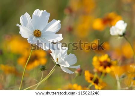 White flower in yellow field - stock photo