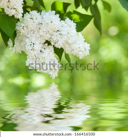 white flower lilac reflected in water - stock photo