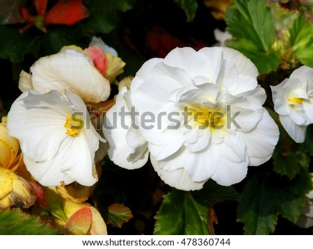 white flower of begonia potted plant