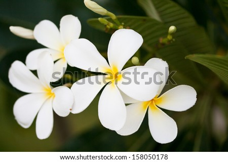 white flower of Frangipani or Plumeria or Templetree with leaf - stock photo