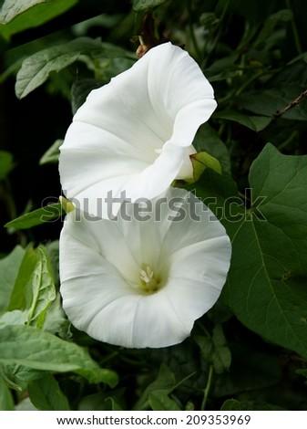 White flower hedge bindweed creeper plant stock photo edit now white flower of hedge bindweed creeper plant mightylinksfo
