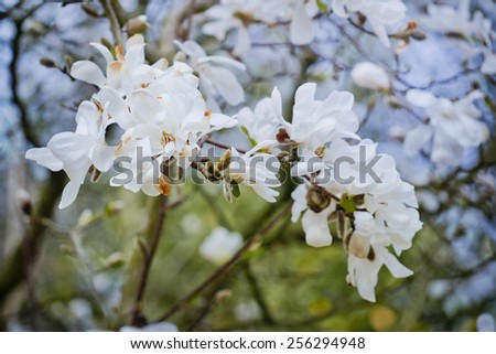 White flower of magnolia in the park - stock photo