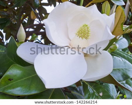 White Flower of Magnolia tree  Magnolia sp.  and leathery leaves close up - stock photo