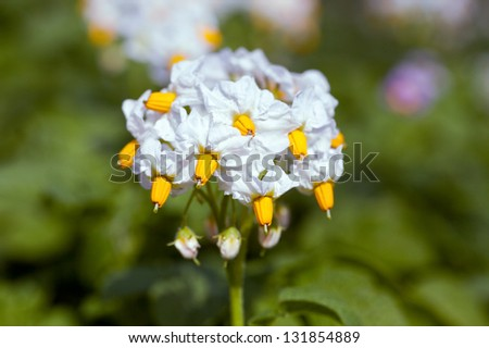 White flower of potato plant on the blur background