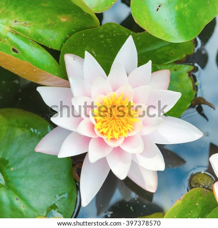 White flower- water lilly with green leaves on the pond - stock photo