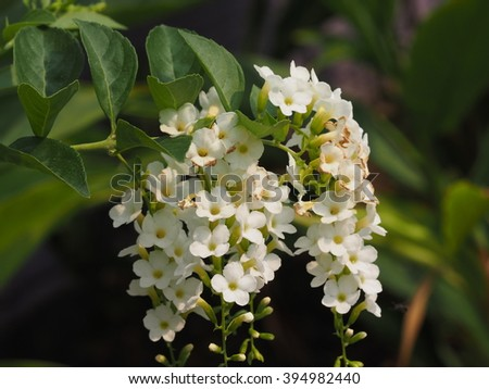 white flower with green leaves, golden dewdrops,pigeon berry or sky flower.(duranta erecta)
