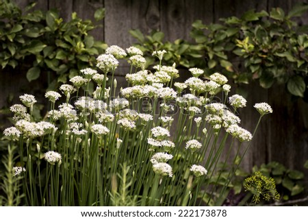 White flowers along a wooden fence in a cottage garden. - stock photo