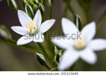 White flowers and buds of Ornithogalum umbellatum (Star-of-Bethlehem) - stock photo