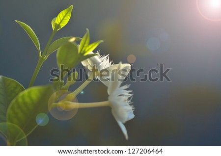 white flowers and dawn - stock photo