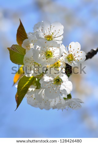 White flowers and green leaves on a blossoming branch of sweet cherry against a blue sky. - stock photo