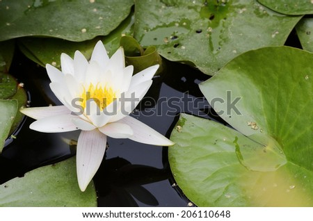 white flowers and leaves of water lilies - stock photo
