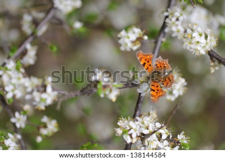 White flowers blooming on branch with butterfly - Comma butterfly Polygonia c-album - stock photo