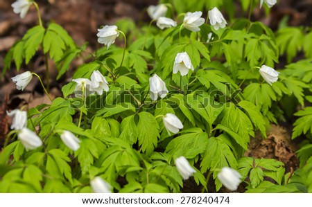 White flowers, buttercup - stock photo