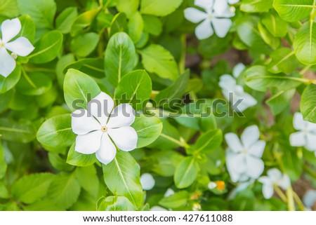 White flowers Catharanthus roseus - stock photo
