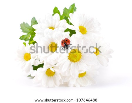White flowers, field camomiles with ladybug on a white background - stock photo