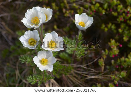 white flowers high in the mountains
