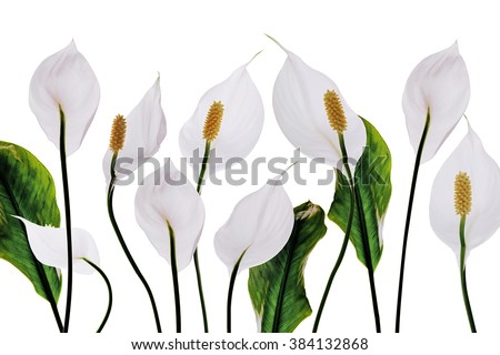 White flowers lilies purity decoration on a white background - stock photo