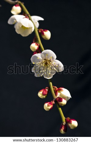 White flowers of a plum tree in spring