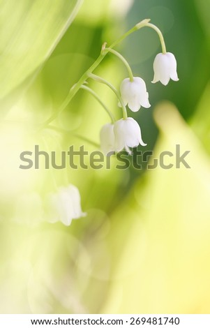 White flowers of a wild-growing lily of the valley - stock photo