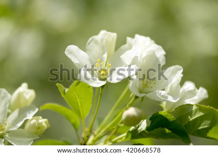 white flowers of apple tree, spring landscape