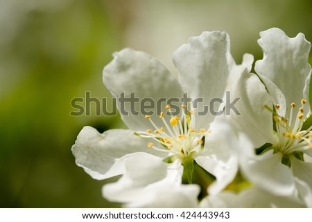 White flowers of apple trees spring landscape