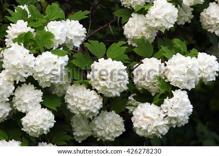 White flowers of blooming snowball tree