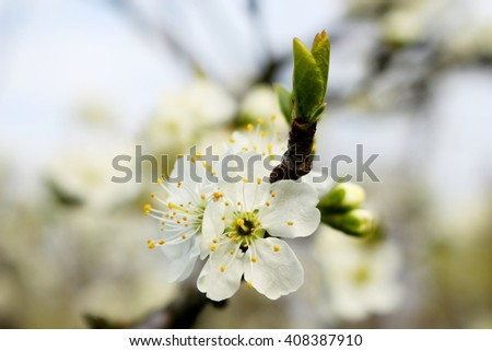 White flowers of cherry; shallow depth of field - stock photo