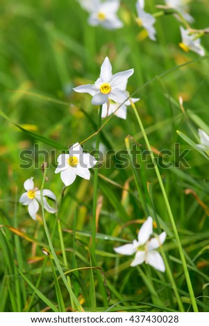 White flowers of narcissus, beautiful spring meadow. - stock photo