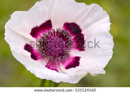White Flowers Oriental Poppy Perrys White Stock Photo (Royalty Free ...