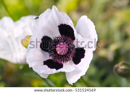 White flowers oriental poppy royal wedding stock photo royalty free white flowers of oriental poppy royal wedding or checkers with black mightylinksfo