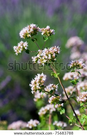 white flowers of origanum vulgare - stock photo