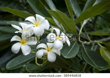 White flowers of Plumeria alba - stock photo