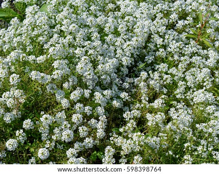 groundcover stock images, royaltyfree images  vectors  shutterstock, Natural flower