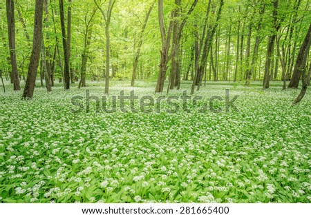 White flowers of the ramsons or wild garlic in the deep forest. - stock photo