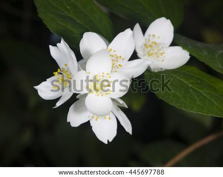 White flowers on mock-orange shrub with bokeh background, macro, selective focus, shallow DOF - stock photo