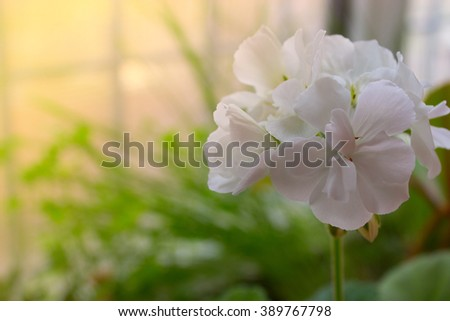 white flowers on the background of green grass. white spring flower on the background of green grass