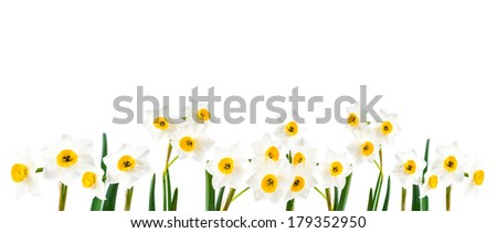 White Flowers on White Background Isolated, Daffodil Panorama - stock photo
