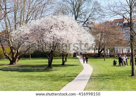 White flowers tree blooming at spring in green park, Copenhagen, Denmark. Spring blossom in Copenhagen. Tree blooming with white flowers in Copenhagen park. Spring park scene. Beautiful park at spring - stock photo