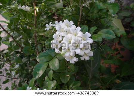 White flowers wetlands tropical greenery thai stock photo royalty white flowers wetlands and tropical greenery thai asian local tropical plants in natural mightylinksfo