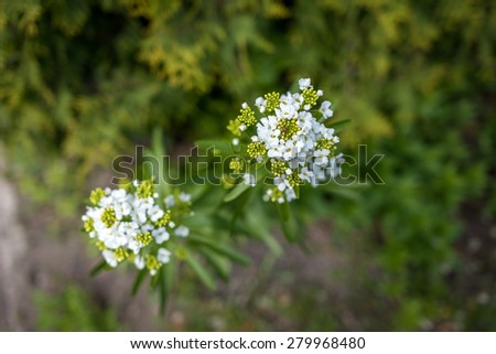 White flowers with spider - stock photo