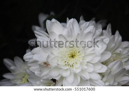 White flowers yellow stamens black background stock photo 100 white flowers with yellow stamens black background mightylinksfo