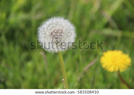 White fluffy ball dandelion taraxacum yellow flower stock photo white fluffy ball of a dandeliontaraxacum with yellow flower of another dandelion in mightylinksfo