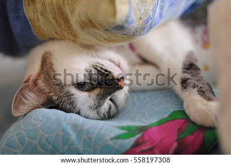 White fluffy blue-eyed cat funny luxuriating in bed. Wrapped in a blanket. Close-up of portrait