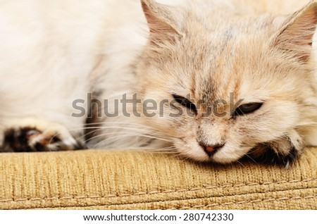 White fluffy cat lying on a sofa